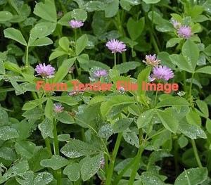 Shaftal Persian Clover Seed