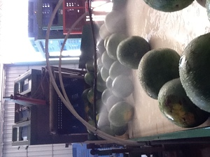 Melon Packing Line
