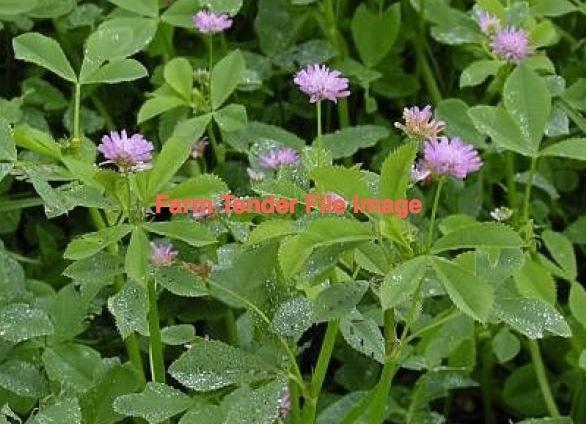 Persian Shaftal Clover Seed