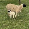 31 Ewes / lambs (Dorper & Australian White)