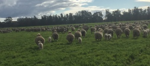 600 Merino Ewe's with 640 Odd Dorset Cross Lambs at Foot