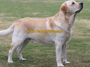 WANTED purebred Labrador, retriever, kelpie or boarder collie puppy