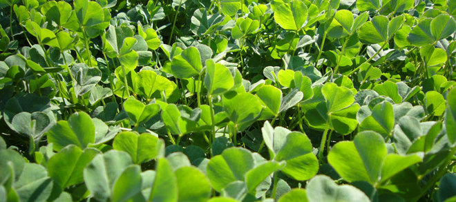 Dalkeith Sub Clover Wanted