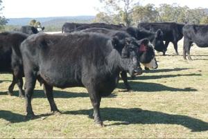 30 Cows With Calves