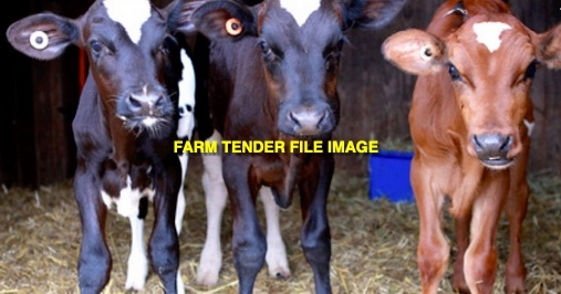 WANTED Dairy Calves