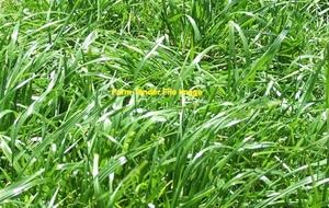 50mt Tetila Rye Grass