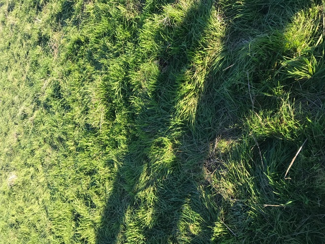 Agistment Available 1500 Acres of Rye and Clover Pasture's ready for Cattle