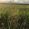 500 x Rhodes Grass & Signal Grass Mix Hay Small Bales