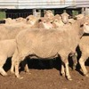 *366 Dohne Ewes with 460 White Suffolk Lambs*