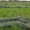 Teff Seed For Sale HAY AND GRAZING