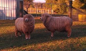Romney Marsh Rams  SOLD elsewhere