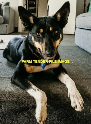 WANTED Female Working Kelpie 2-3yr old