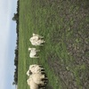 Dorper Ewes with some Lambs  Full mouth