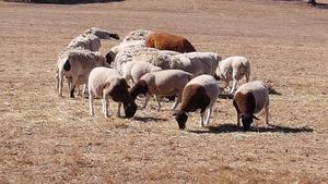 14 Dorper Ewe Lambs 7 months old