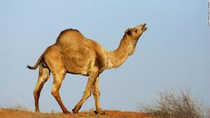 WANTED Camel