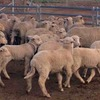 *330 Merino Ewes with 480 White Suffolk Lambs*