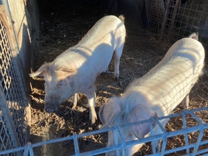 10 month old sows