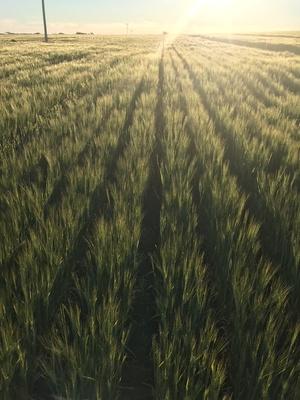 Barley hay 8x4x3