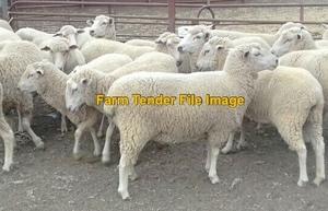 300 x 1st X Ewe lambs