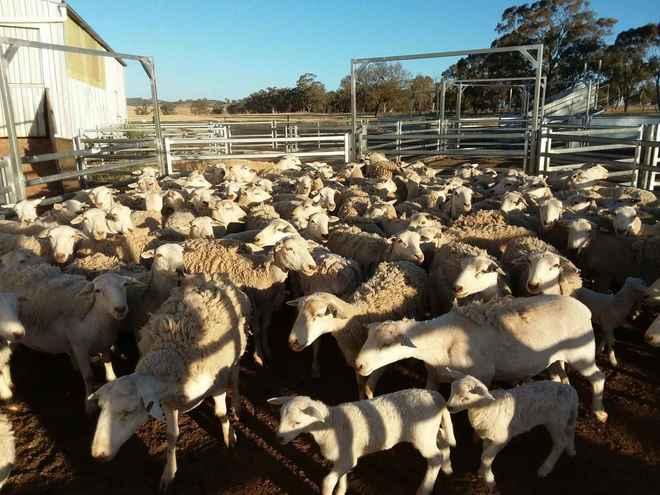 White dorper ewes