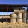 49 5x4 Round Bales of Irrigated Pasture Hay