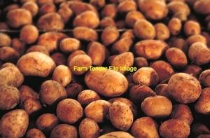 100mt Stock Feed Potatoes