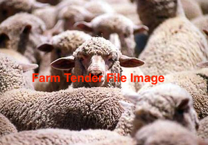 First Cross  Ewes  Lambs. April 2015 Drop