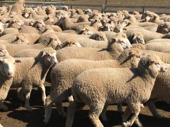 250 White Suffolk/Merino Cross Ewe Lambs