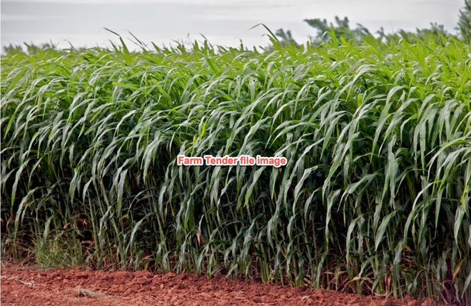Forage Sorghum Fine Stem