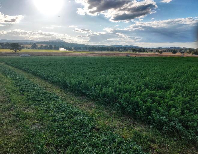 GRASSY LUCERNE HAY BALES FOR SALE