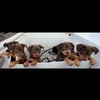 Red and Tan Kelpie Pups