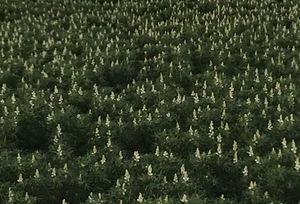 Narrow leaf Lupins, 30 ton.