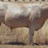 Stud Charolais Bulls