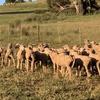 Future breeder Dohne ewe lambs