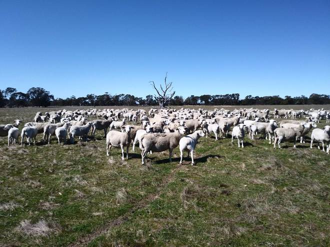 110 White Dorper Ewes with 115 lambs at foot