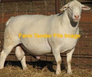 WANTED Australian White Ram