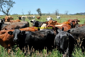 WANTED Land to Lease or Cattle Agistment