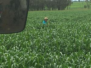Hay irrigated and fertilised