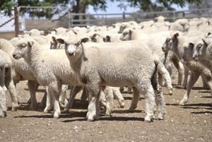 200 second cross lambs