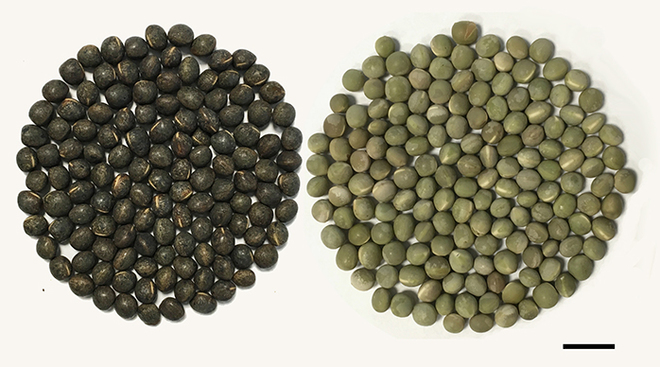 Vetch Seed- seed coat variation wanted
