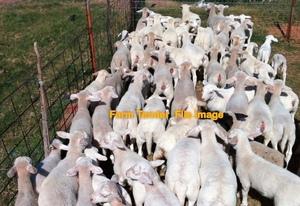 1000 Dorper and White Dorper Lambs