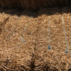 Pea Straw Small Square Bales