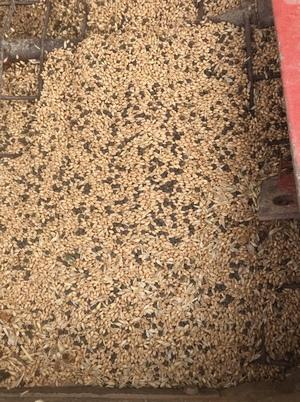 80mt Wheat & Vetch Mix