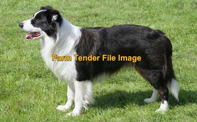 Wanted Border Collie Male farm dog