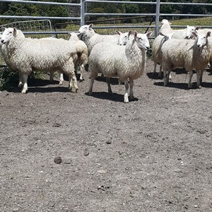 Border Leicester Ewe Lambs