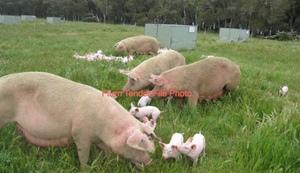 10 x Pigs Sows