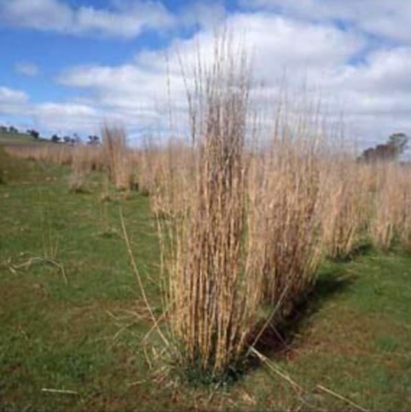 Tall Wheat Grass Seed