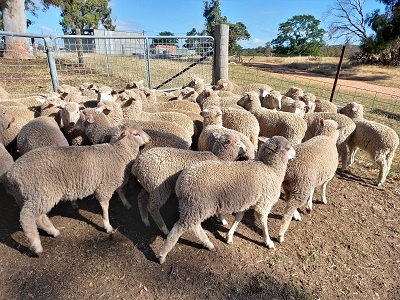 MERINO X BORDER LEICESTER EWE LAMBS X 45 - 6 to 8 MONTHS OLD