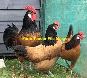 Purebred Vorwerk Flock