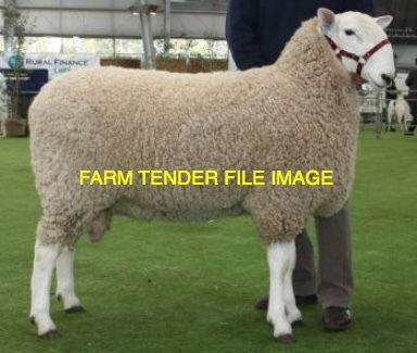 WANTED Border Leicester Rams x 20